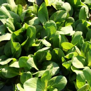 paleo diet for diabetics - leafy greens